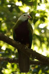 Wompoo Fruit-Dove Mount Glorious, QLD September 15, 2013 IMG_1230