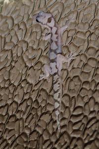 Robust Velvet Gecko Dayboro, QLD September 14, 2013 IMG_1166