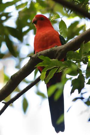 Australian King-Parrot Mount Glorious, QLD September 15, 2013 IMG_1292