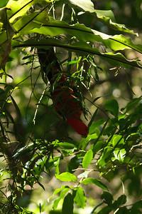 Australian King-Parrot Mount Glorious, QLD September 15, 2013 IMG_1204
