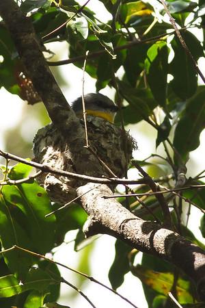 Eastern Yellow Robin Dayboro, QLD September 14, 2013 IMG_1061