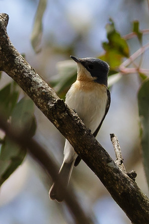 Leaden Flycatcher