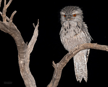 Tawny Frogmouth, Round Hill NR, NSW, Oct 2018-1