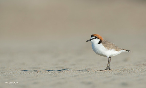 Red-capped Plover, Shoalhaven Heads, NSW, Oct 2012-1