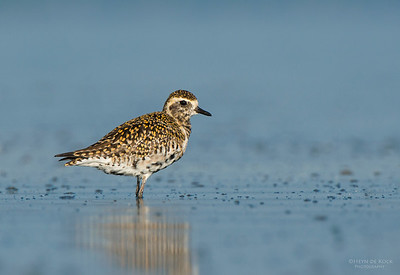 Pacific Golden-plover, Shoalhaven Heads, NSW, March 2013