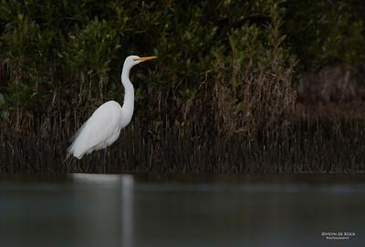 Great Egret, Shoalhaven Heads, NSW, Aus Jun 2013