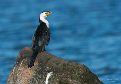 Little Pied-cormorant, Shoalhaven Heads, NSW, Aus Jun 2013