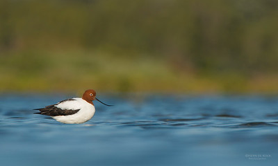 Red-necked Avocet, Shoalhaven Heads, NSW, Aus, Apr 2013