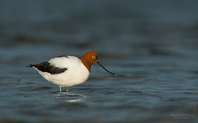 Red-necked Avocet, Shoalhaven Heads, NSW, Aus, Apr 2013-2