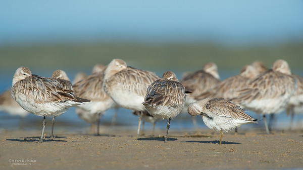 Red Knot & Bar-tailed Godwits, Shoalhaven Heads, NSW, Sept 2014