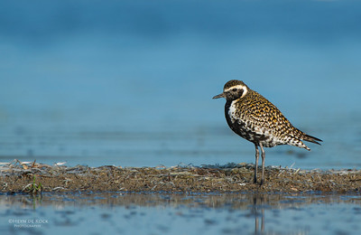 Pacific Golden-plover, Shoalhaven Heads, NSW, March 2013-1