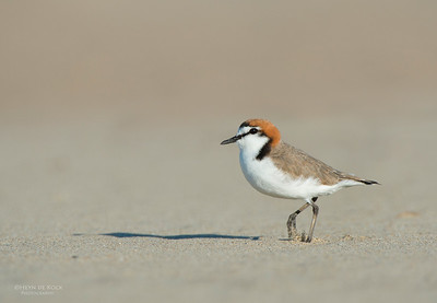Red-capped Plover, Shoalhaven Heads, NSW, Oct 2012-2