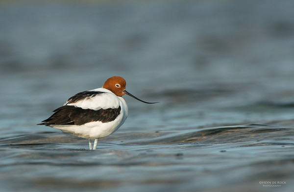 Red-necked Avocet, Shoalhaven Heads, NSW, Aus, Apr 2013-1
