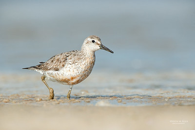 Red Knot, Shoalhaven Heads, NSW, Sept 2014