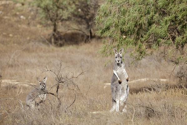 May 10, 2015 Flinders Ranges, SA IMG_5595