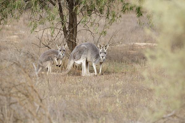 May 10, 2015 Flinders Ranges, SA IMG_5617