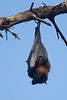 Grey-headed flying fox 1 - these have a 1 meter wingspan and head + body length of 29 cm. They are native to Australia and at Eastern Park in Geelong there is a colony of hundreds of them.