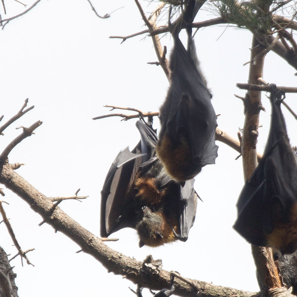 Grey-headed flying fox with a baby clinging on. There were hundreds of these guys in a cluster of trees in Eastern Park.  They have a 1 meter wing span and their head and body length can reach 29 cm.