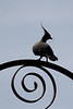 Crested pigeon in silhouette - they are pretty birds but I like the shape here with the huge crest.