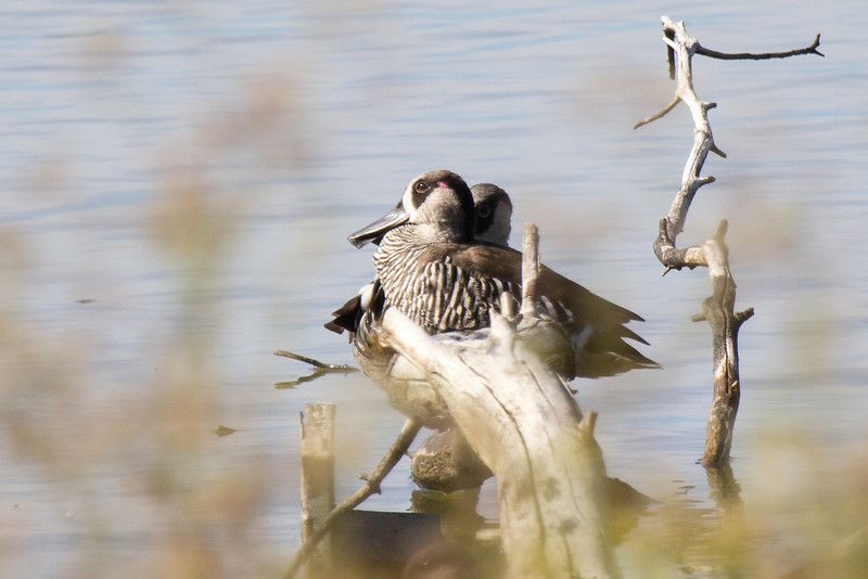 We made a 20 minute stop at Lake Lorne and we saw these pretty pink eared ducks. From what I understand, they are not usually this close to shore.