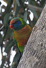 On the morning of the 29th a flock of rainbow lorikeets swooped in on us as we were having breakfast.