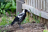This is a young magpie in the yard.