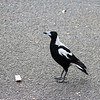 I was able to identify this as a magpie without the bird book. They are everywhere and a bit on the noisy side.