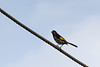 New Holland Honey Eater on a wire.  I am hoping to get better shots of these guys. They seem to be fairly common.
