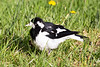 Although it looks a little like the magpie, this Magpie Lark is much smaller. This one, without a white eyebrow is a female.