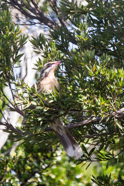 After visiting Lake Victoria on the 28th we popped over to Point Lonsdale for some spiny cheeked honeyeaters
