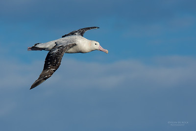 Antipodean Albatross, Eaglehawk Neck Pelagic, TAS, July 2015-1