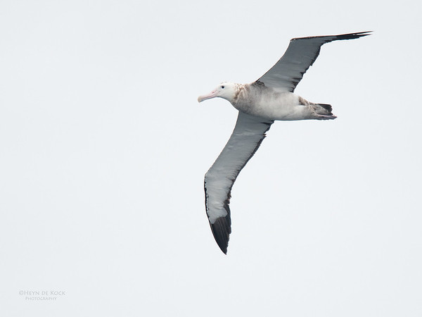 Antipodean Albatross, Eaglehawk Neck Pelagic, TAS, Sept 2016