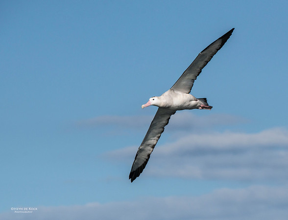 Antipodean Albatross, Wollongong, NSW, Aus, Aug 2012-1