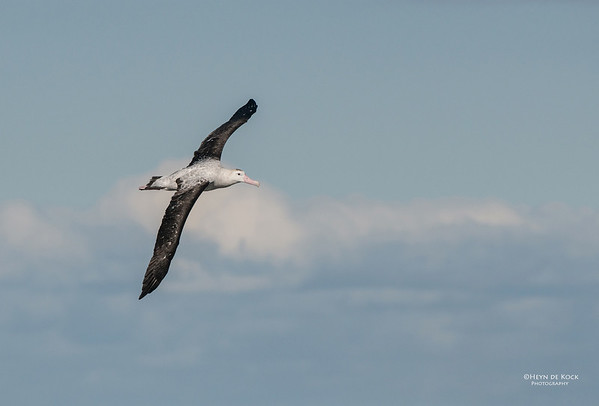 Antipodean Albatross, Wollongong, NSW, Aus, Aug 2012
