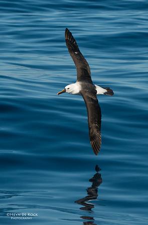 Indian Yellow-nosed Albatross, Wollongong Pelagic, NSW, Aus, Jul 2013-1
