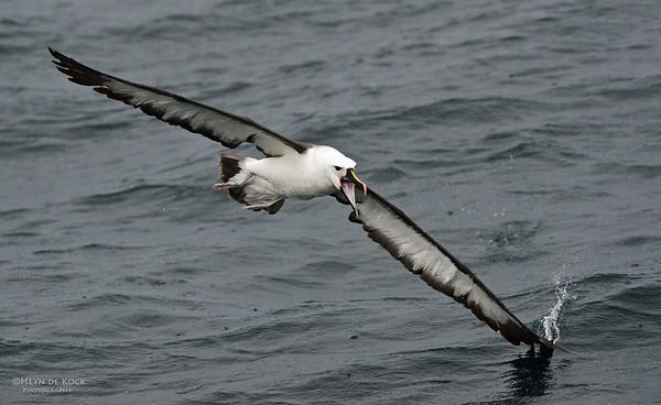 Indian Yellow-nosed Albatross, Wollongong Pelagic, NSW, Aus, Jun 2012-1