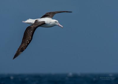 Northern Royal Albatross, Wollongong Pelagic, NSW, Aus, Oct 2014-3