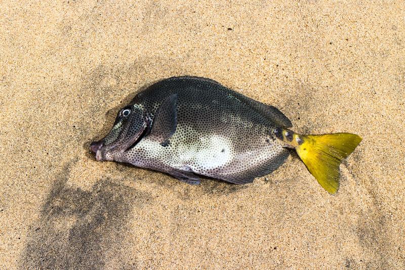 An interesting, dead, fish on the beach