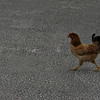 There are many chickens strolling around Half Moon Cay.