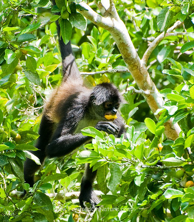 Spider Monkey Foraging