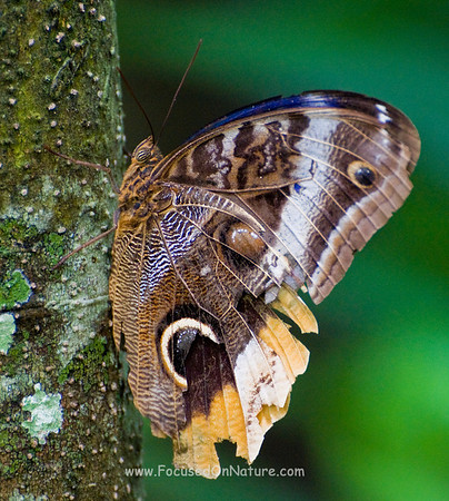 Banded Owl Butterfly