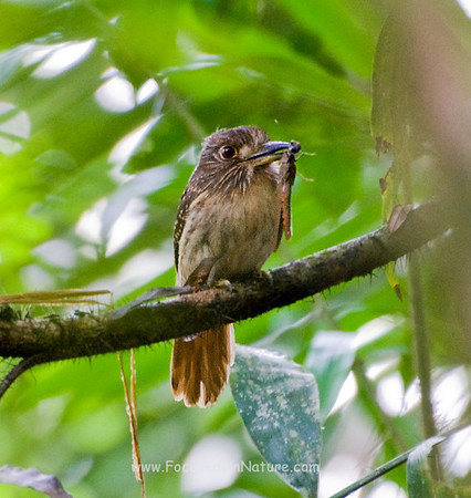 White-whiskered Puffbird with Lunch