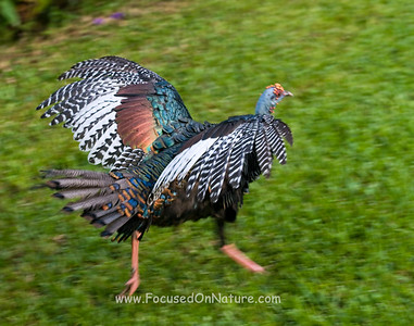 Oscillated Turkey Running