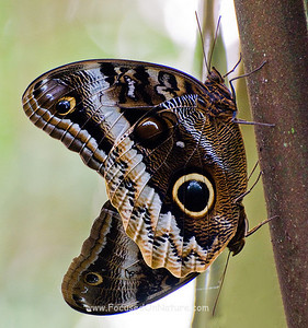 Banded Owl Butterflies Mating