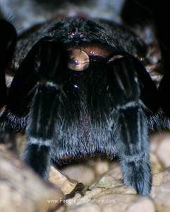 Red-rump Tarantula Closeup