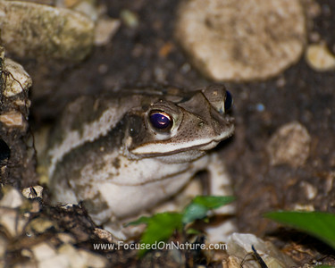 Rainforest Toad