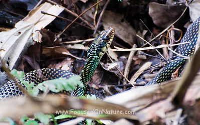Speckled Racer After Toad Lunch