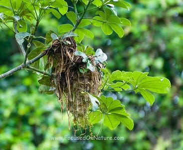 Becard Nest