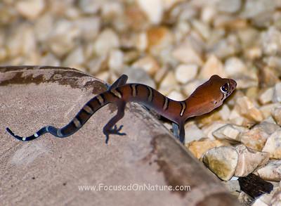 Juvenile Yucatan Banded Gecko