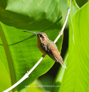 Little Hermit Hummingbird